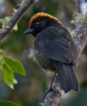 Grey-eared (Black-faced) Brush-finch