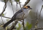Black-spectacled Brushfinch