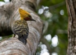 Ochre-backed Woodpecker